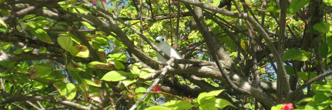 A fairy tern near Bird Island Lodge