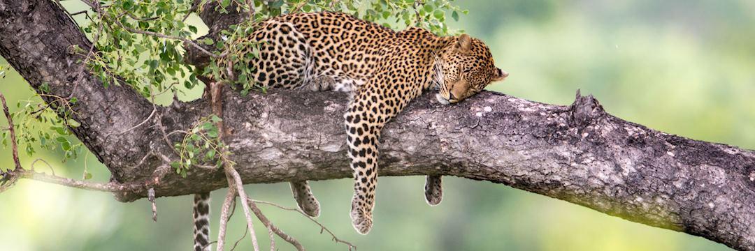 Leopard in a tree, Okavango Delta