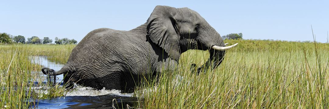 An elephant crosses a channel in the Okavango Delta