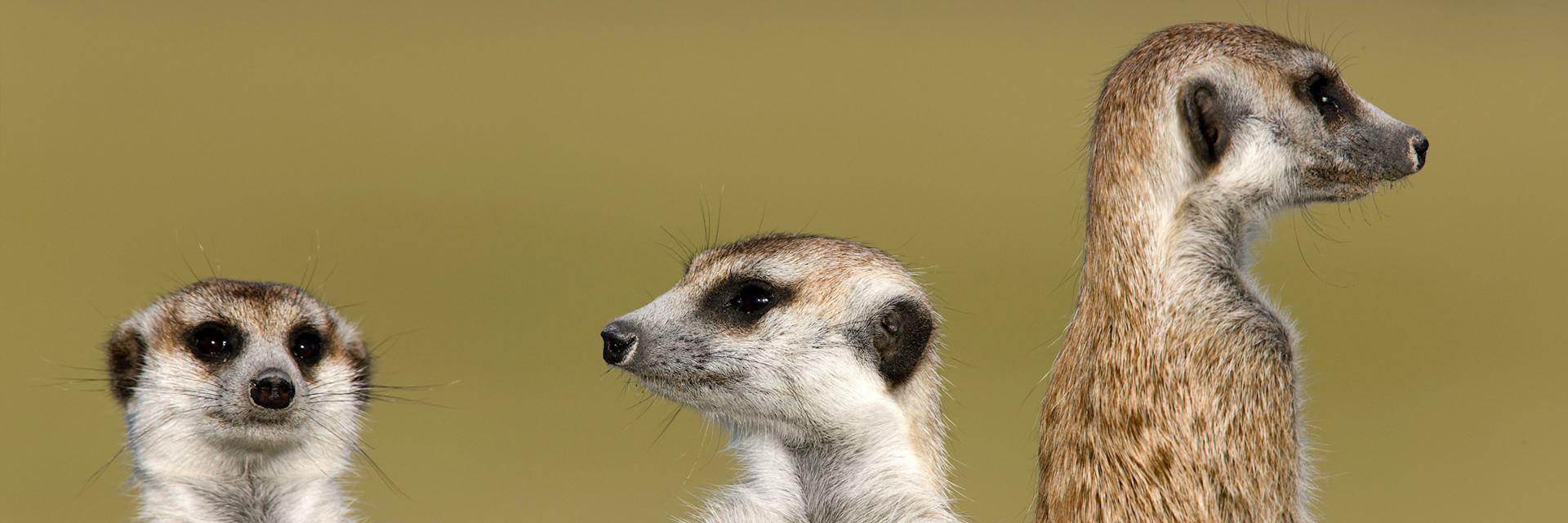 Family of meercats in Botswana