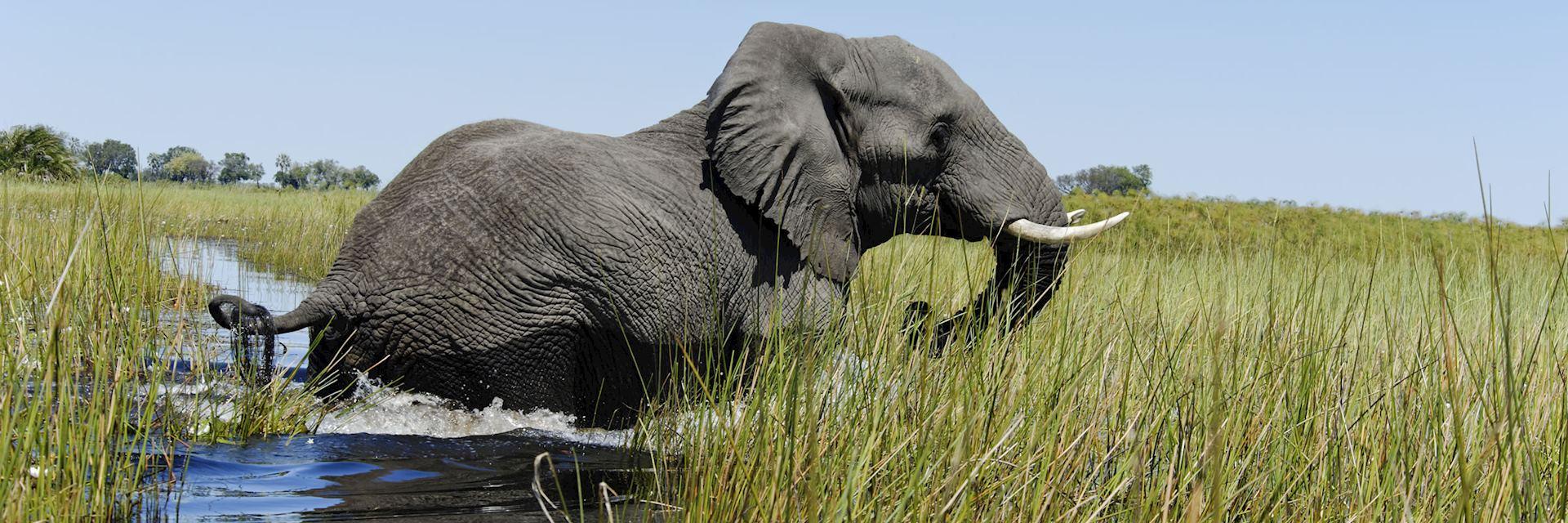 Elephant crossing the Okavango Delta