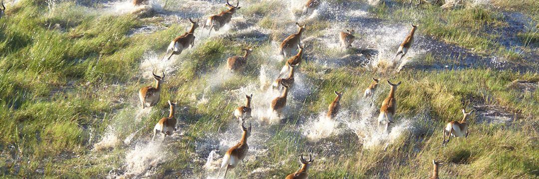 Impalas, Okavango Delta