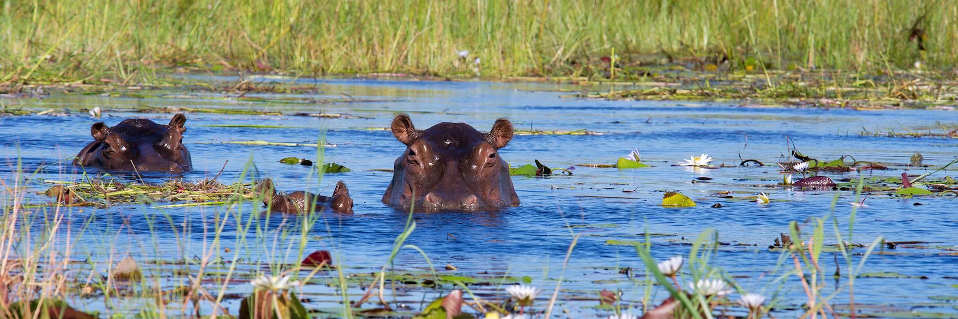 Two hippos and calf in Xigera Concession, Okavango Delta