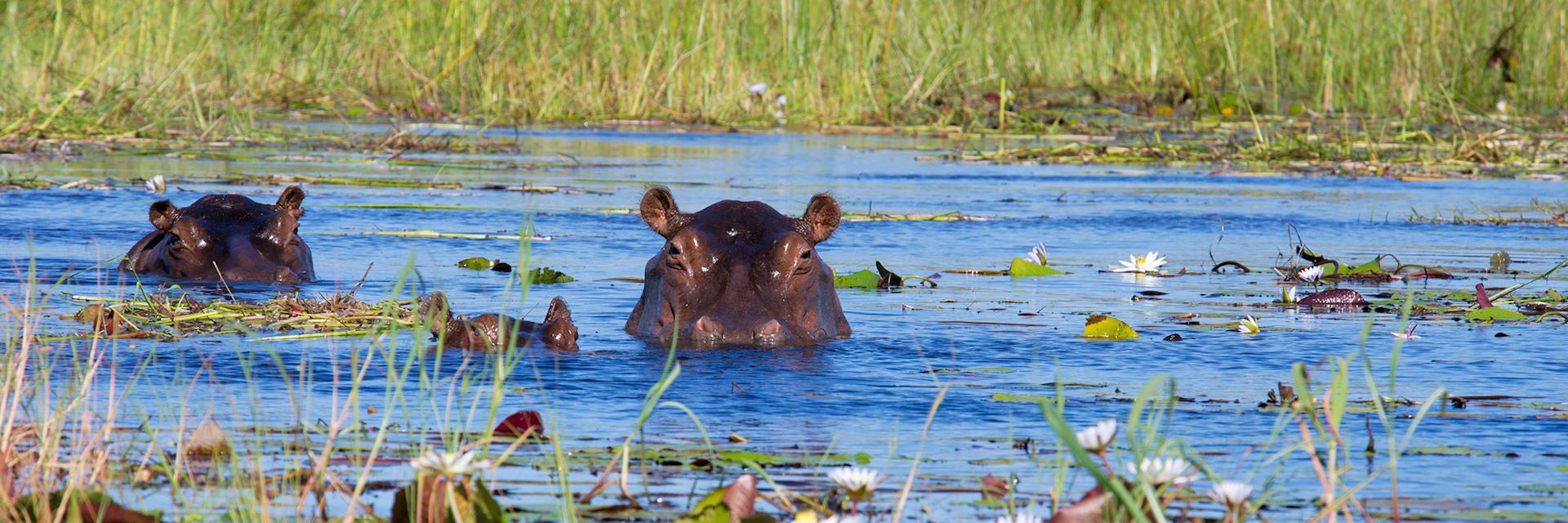 Two hippos and calf in Xigera Concession, Okavango Delta