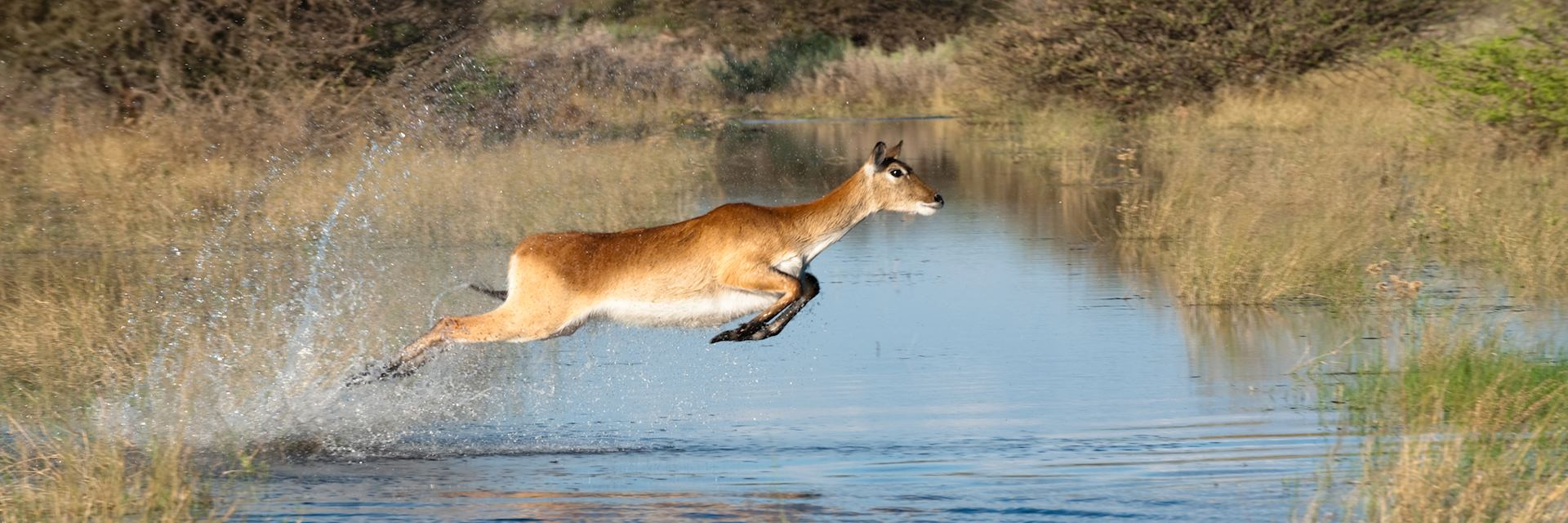 Red lechwe, Jao Concession