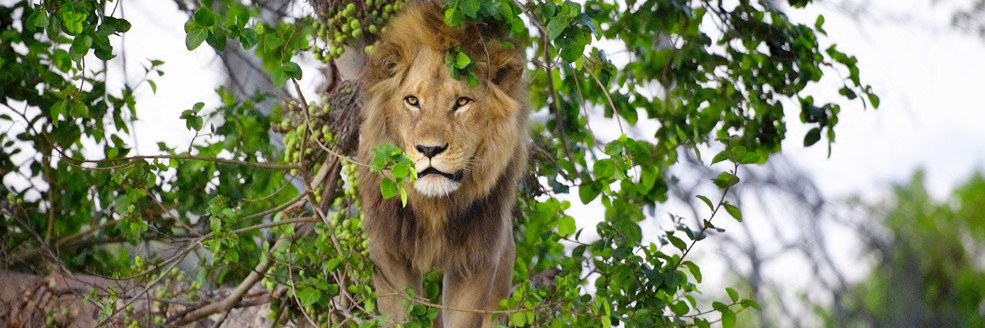 Lion in Duba Concession