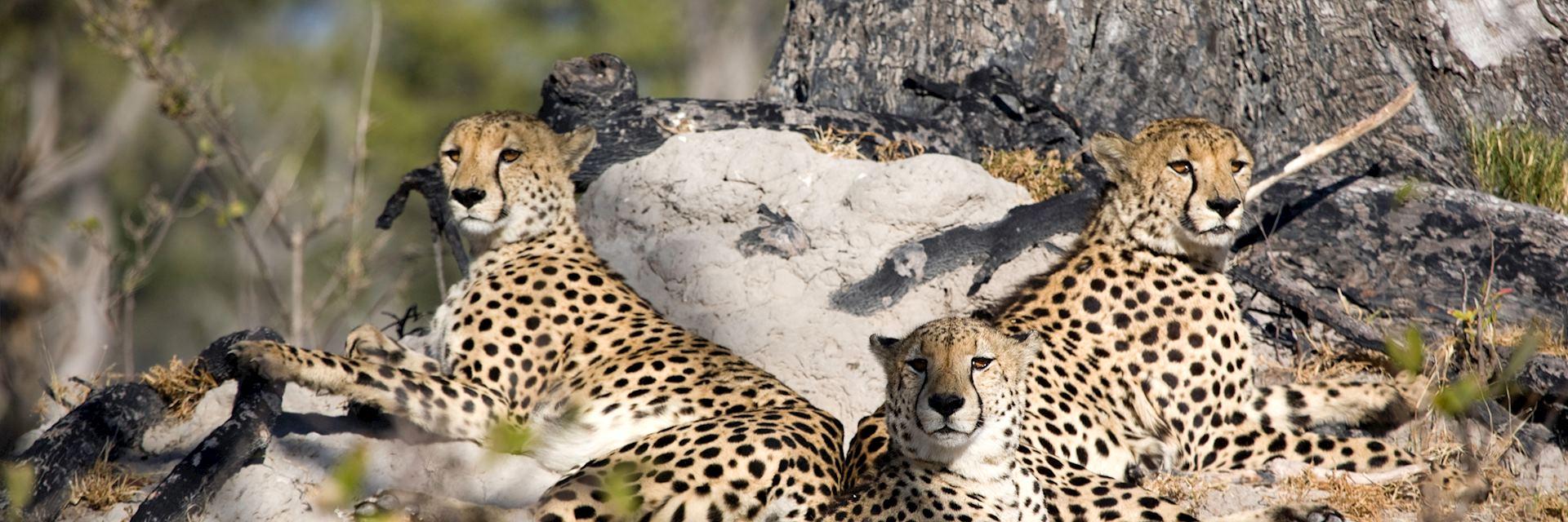 Cheetah at Stanley's Camp, Okavango Delta