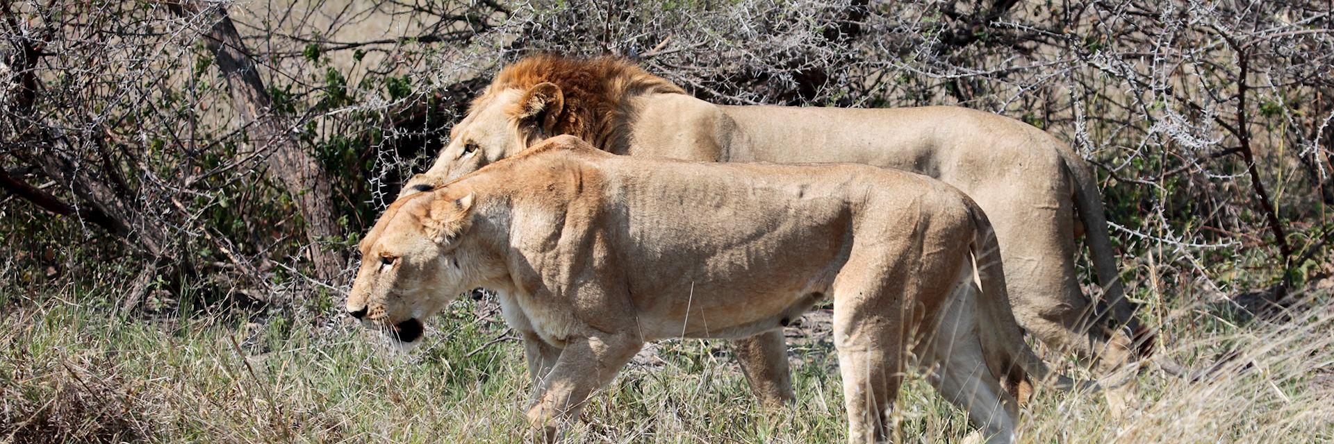 Lion in the Savuti Area