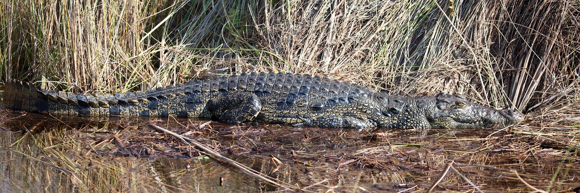 Crocodile, Okavango Delta