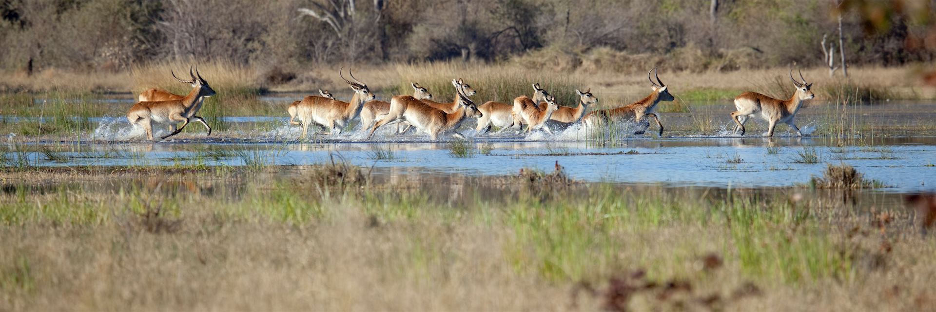 Red lechwe, Khwai Concession