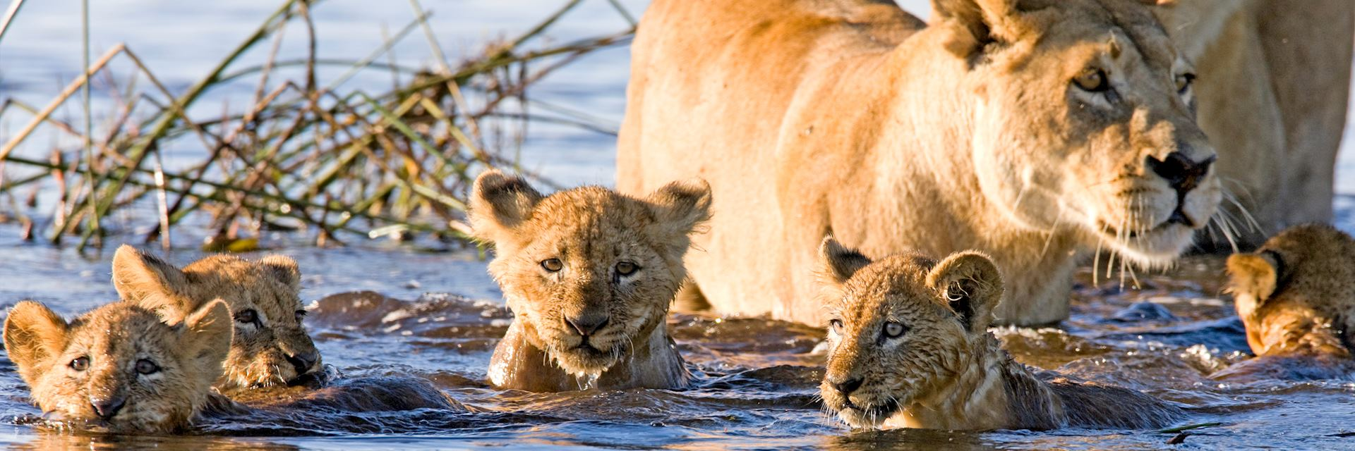 Lion cubs swimming in the Okavango Delta