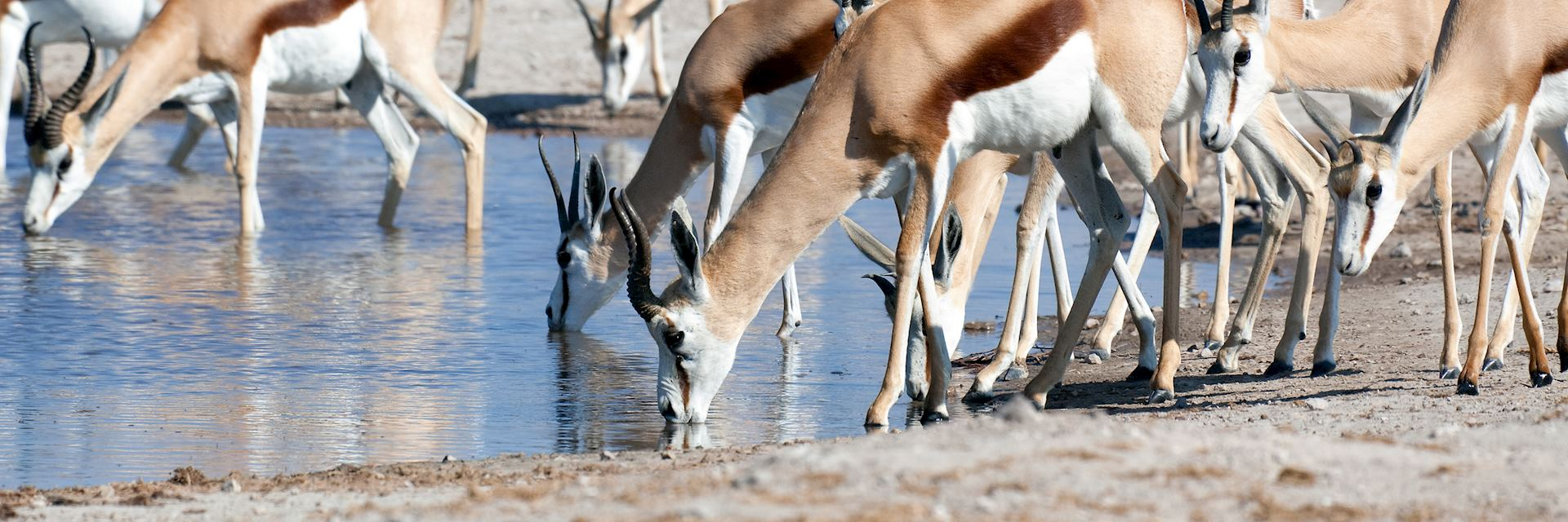 Springbok in Nxai Pan National Park