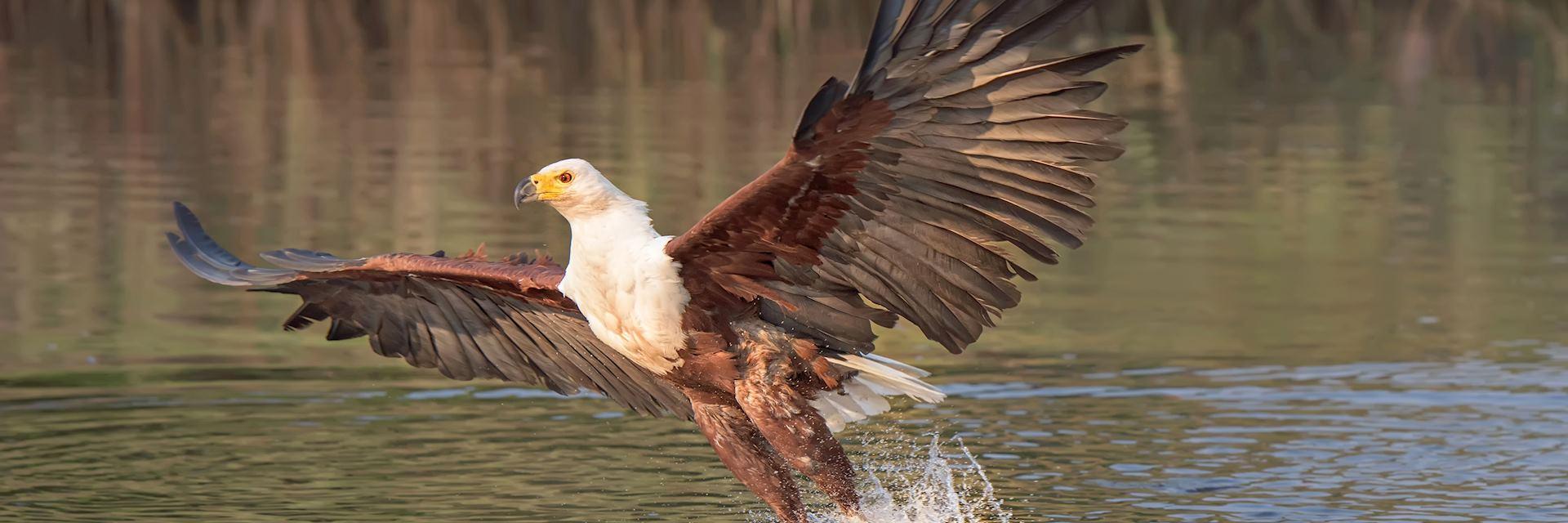 Fish eagle on the Okavango River