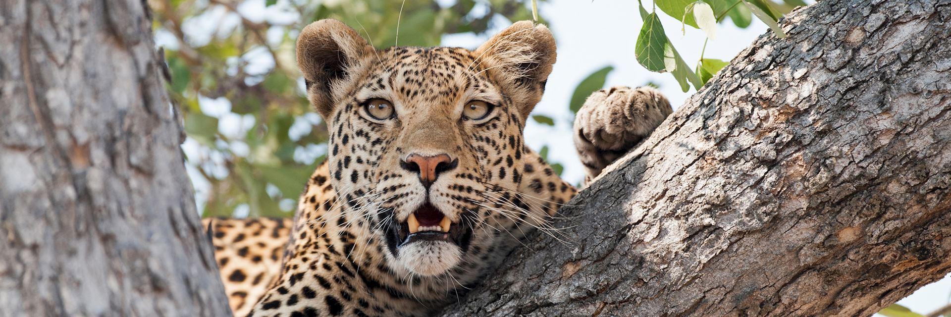 Leopard in Kwando Concession
