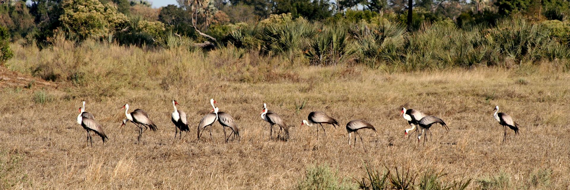 Endangered wattled cranes, Chitabe Concession