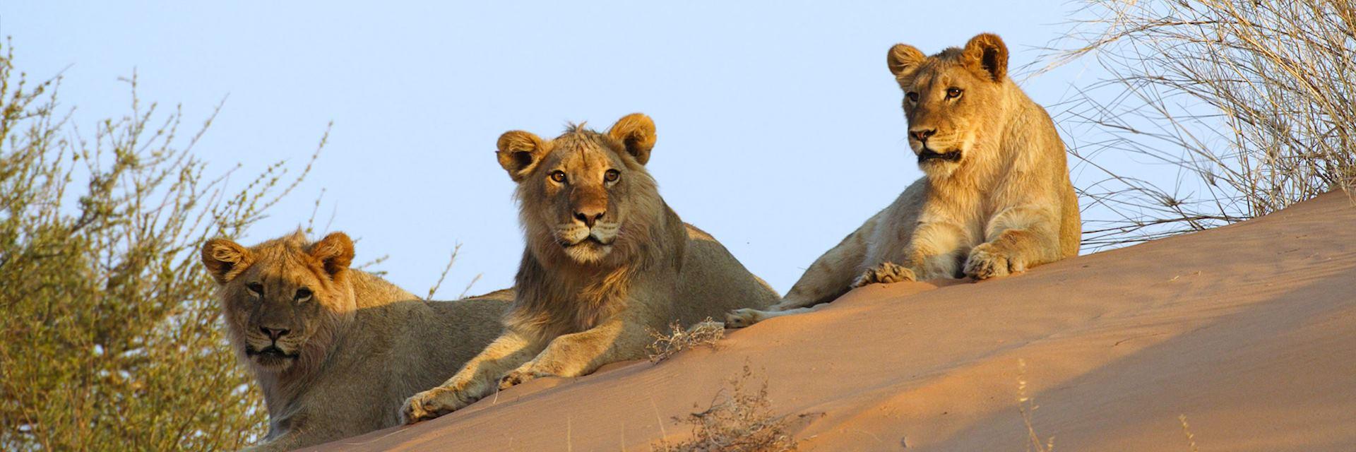 Lion on a Kalahari sand dune, Botswana