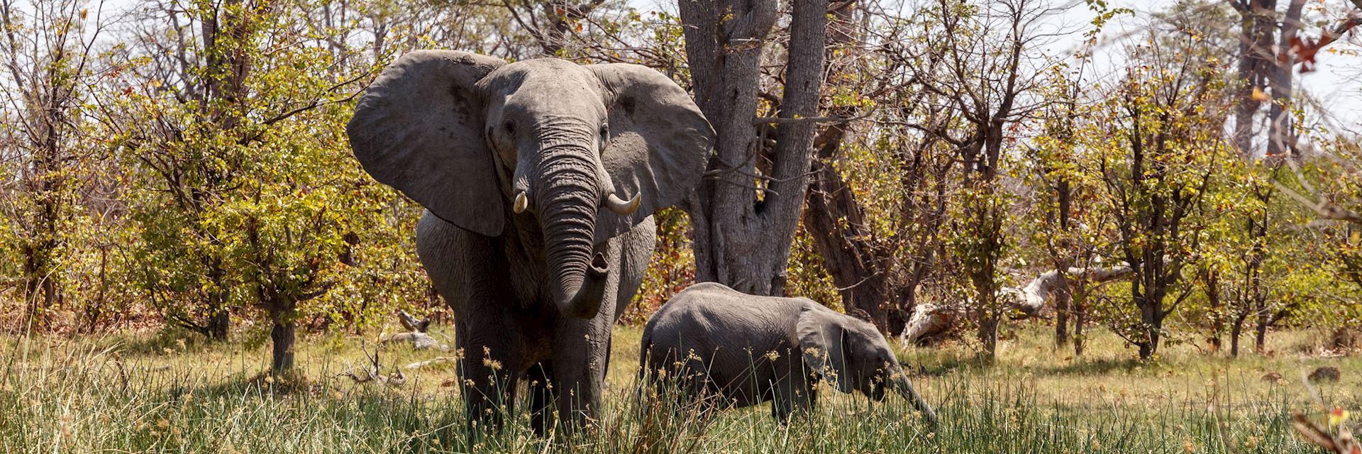 Elephant in Moremi Wildlife Reserve, Bostwana