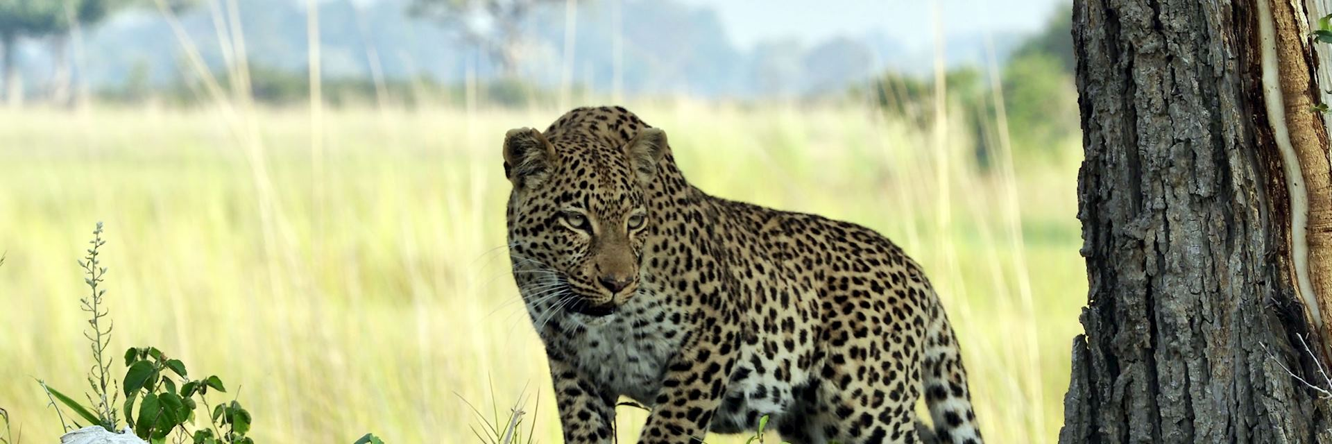 Leopard, Vumbura Concession