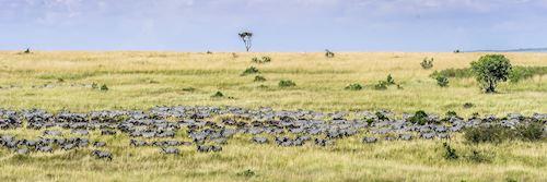 Zebra migration across the Masai Mara