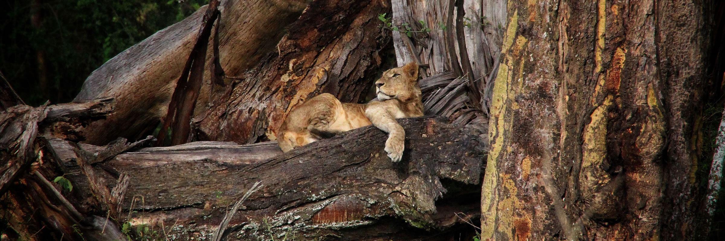 Lion in Lake Nakuru National Park, Kenya