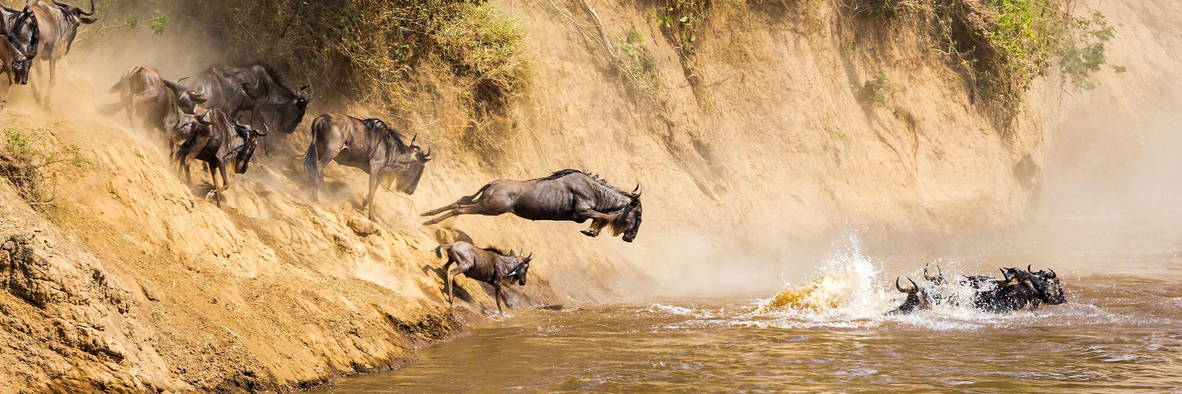 Wildebeest, Mara River