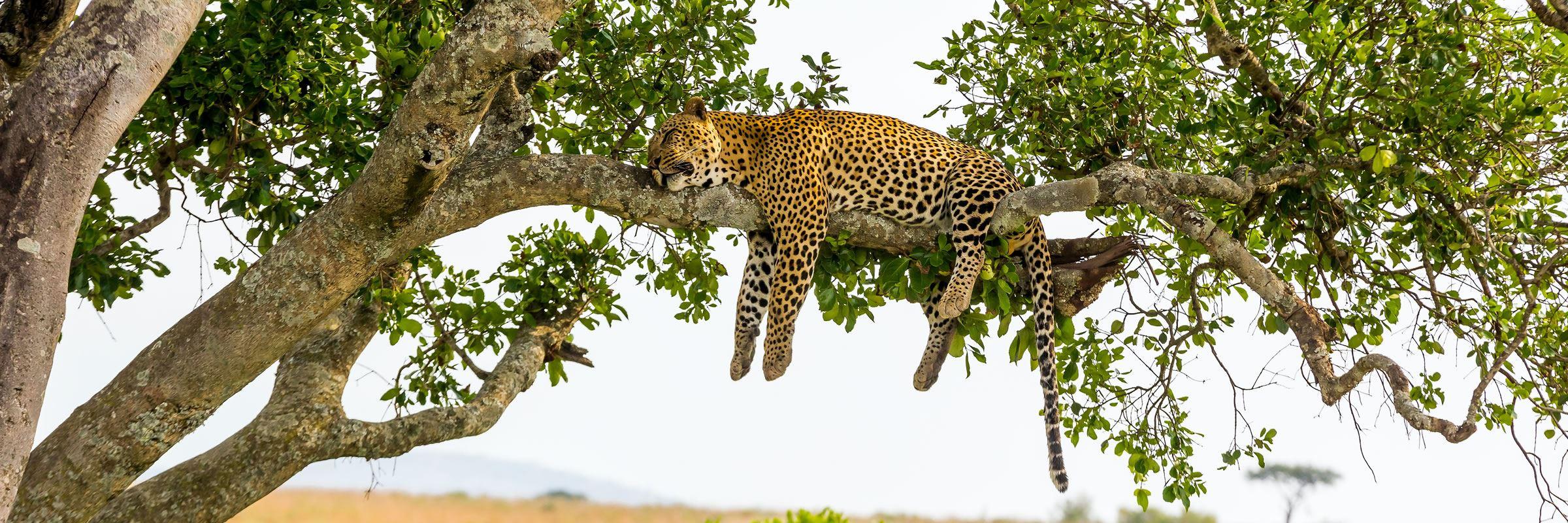 Leopard in a tree, Kenya