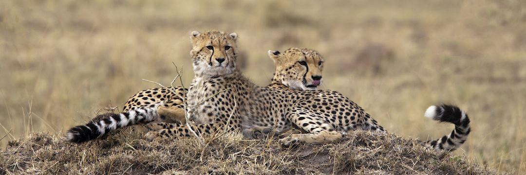 Cheetah in the Masai Mara, Kenya