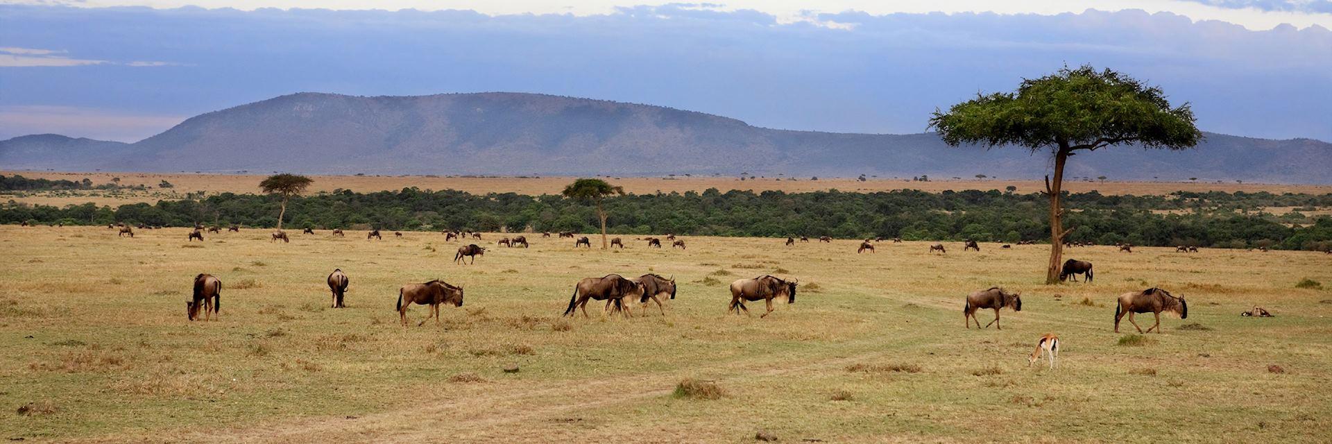 Wildebeest herd, Masai Mara