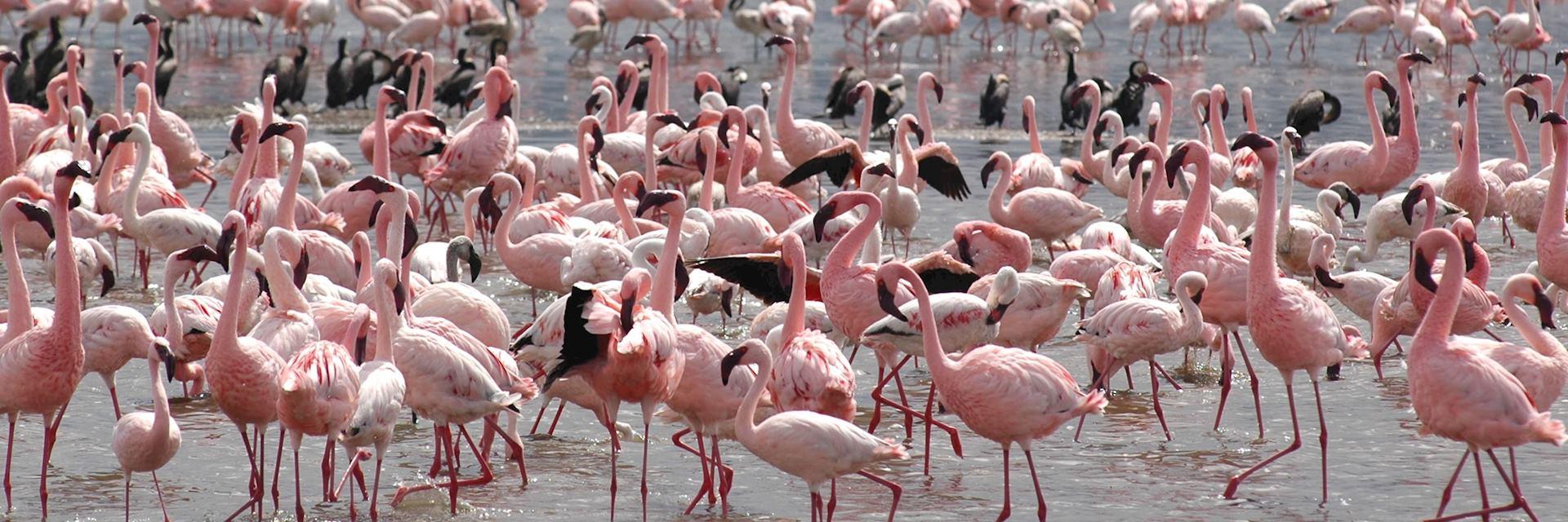 Flamingos, Lake Nakuru