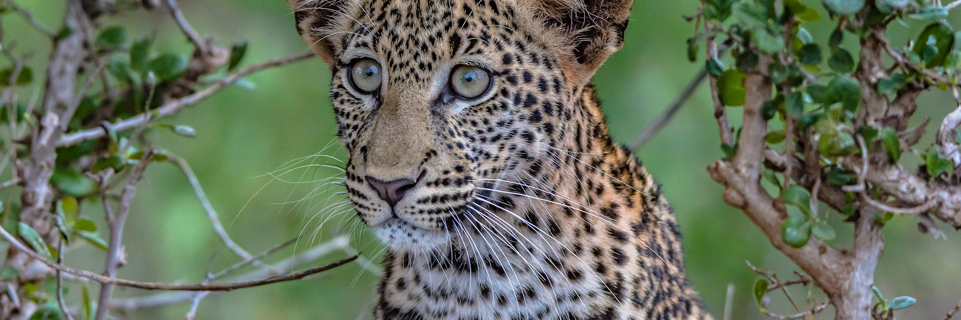 Young leopard in Tsavo East National Park