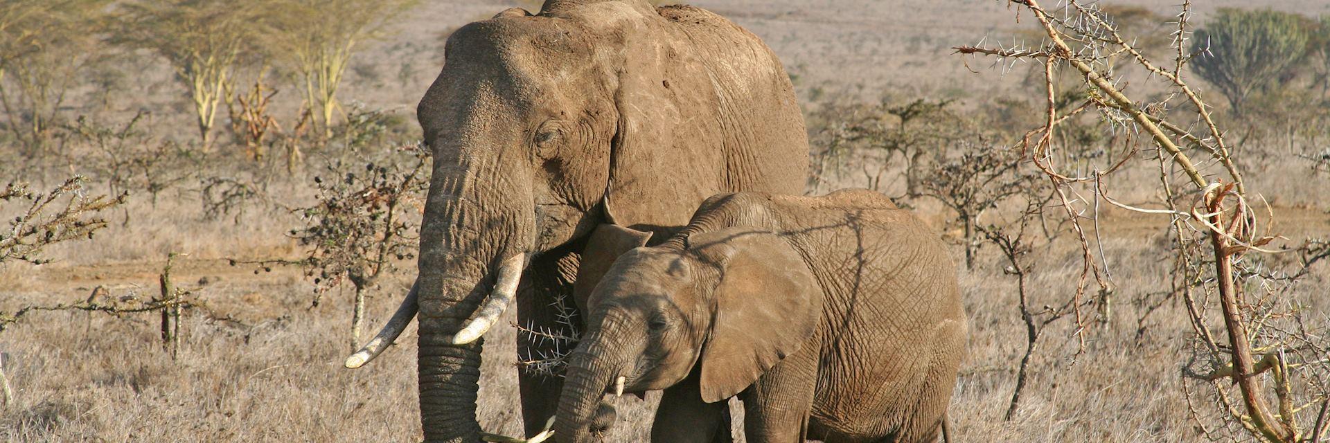 Elephant in Borana Conservancy