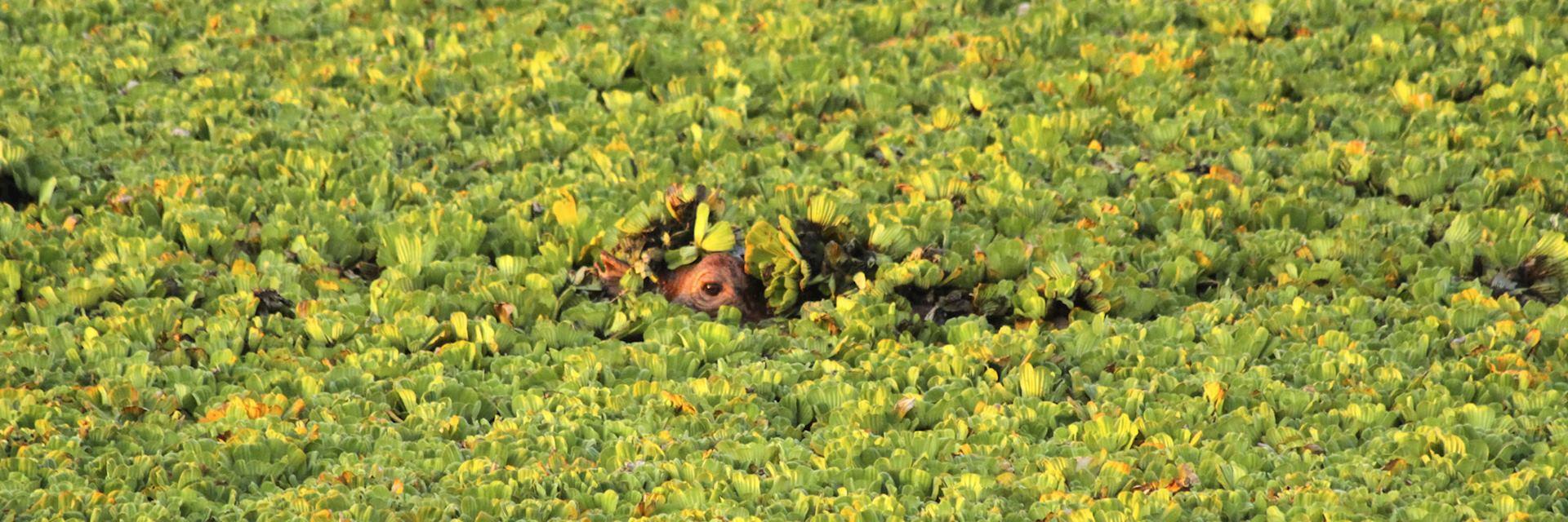 Hippo, Tana Delta