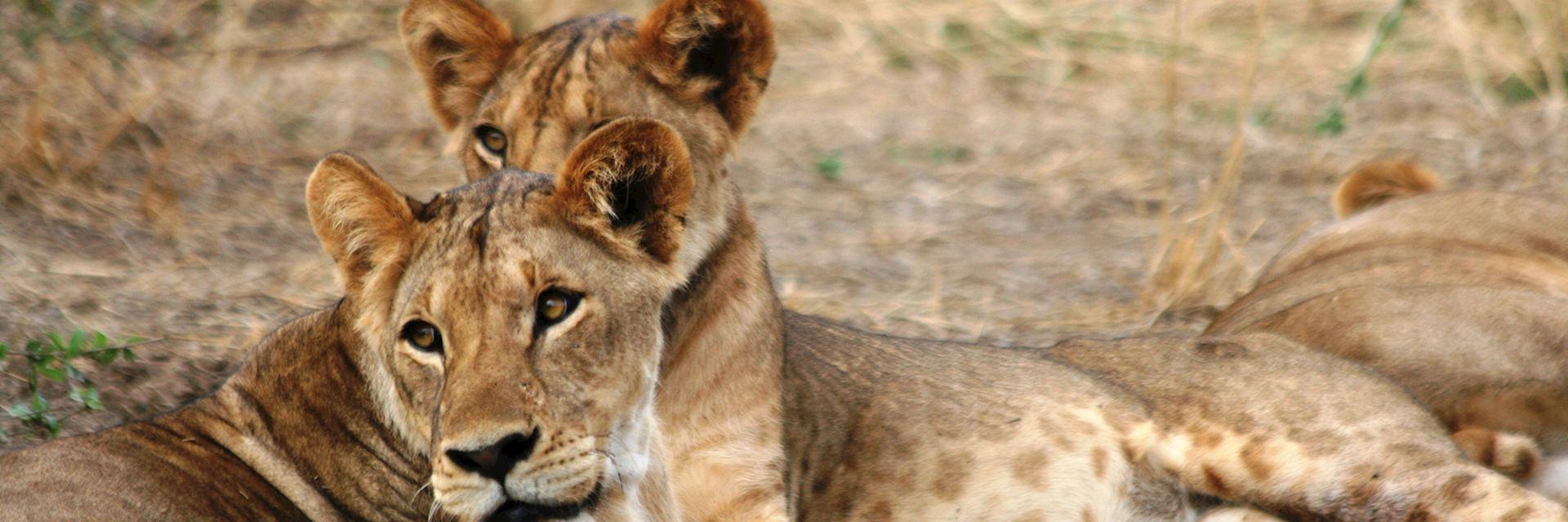 Lions, Lewa Wilderness Conservancy