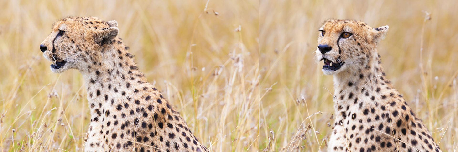 Cheetah in Shaba National Reserve