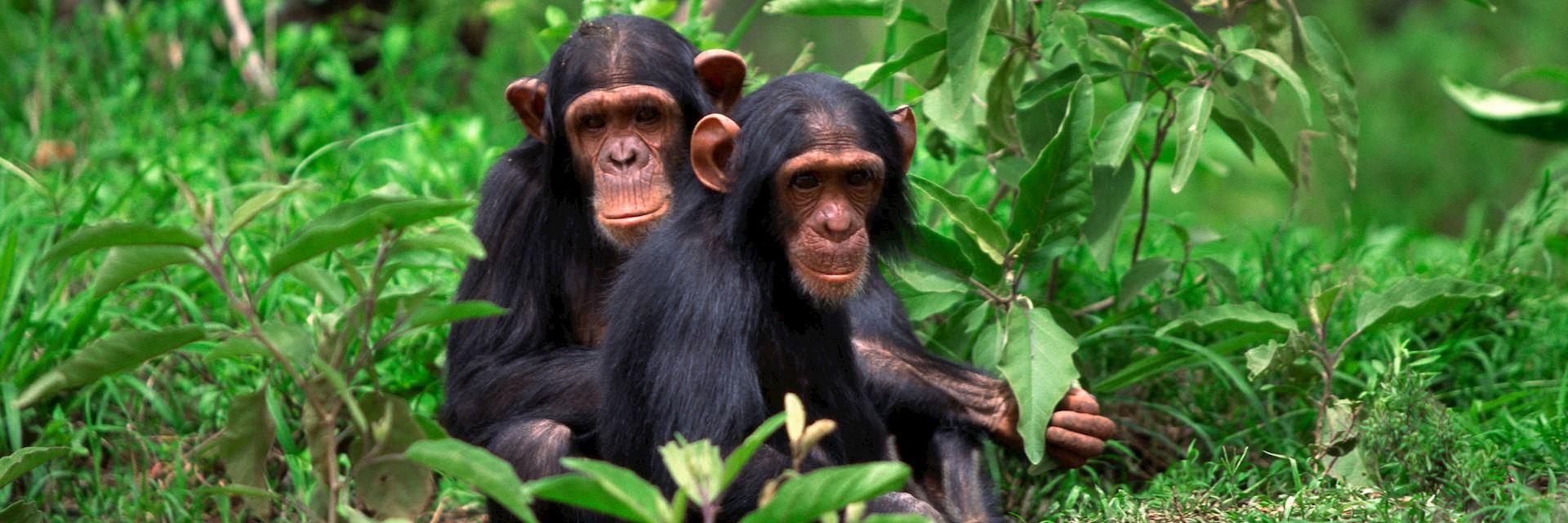 Chimpanzee's in Tanzania