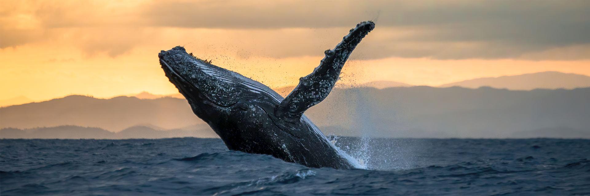 Humpback whale, Île Sainte-Marie