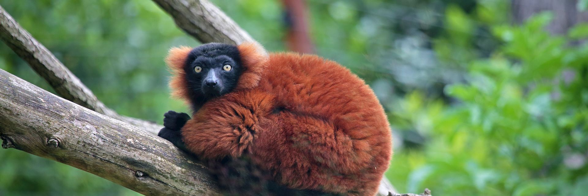 Red ruffed lemur, Madagascar