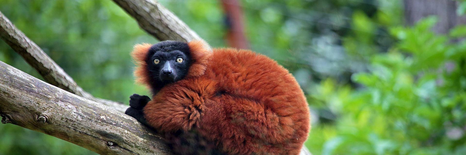 Red ruffed lemur, Madagascar