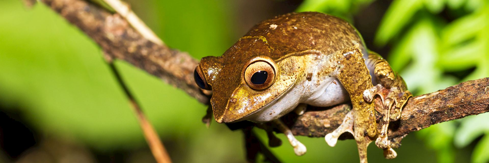 One of the many species of tree frog in Madagascar