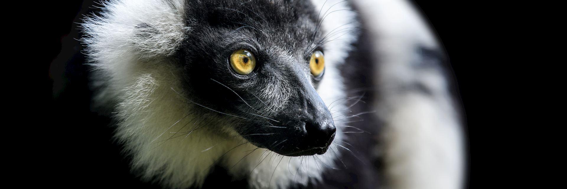 Black-and-white ruffed lemur, Manafiafy