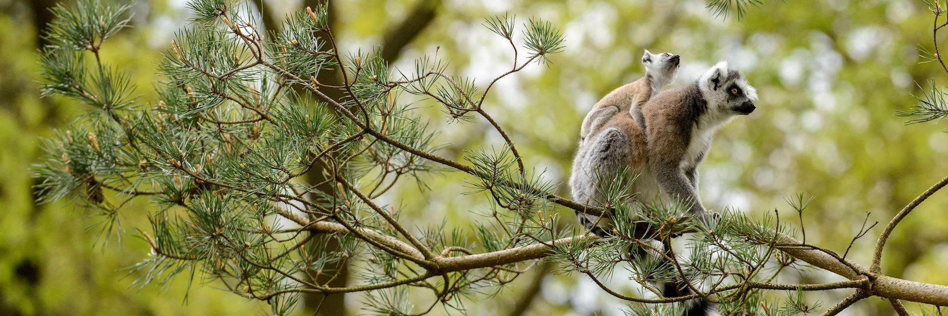 Ring-tailed lemur, Berenty Reserve