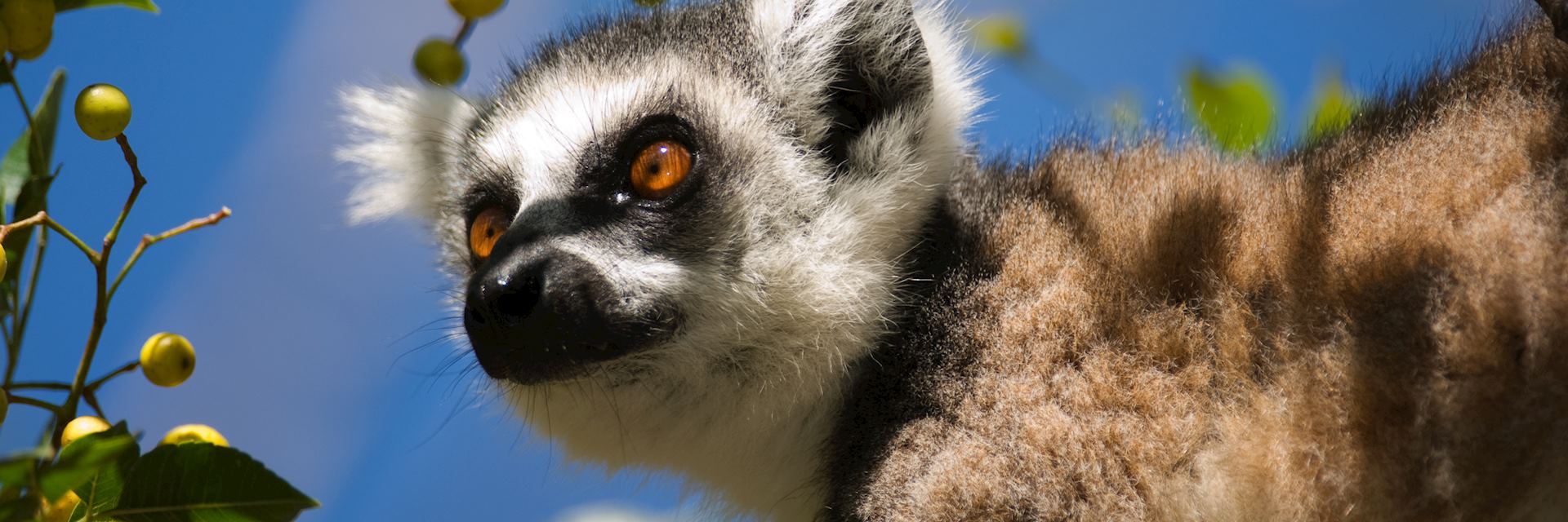 Ring tailed lemur, Andohahela National Park