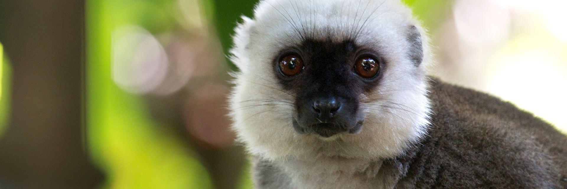 White-fronted brown lemur, Nosy Mangabe