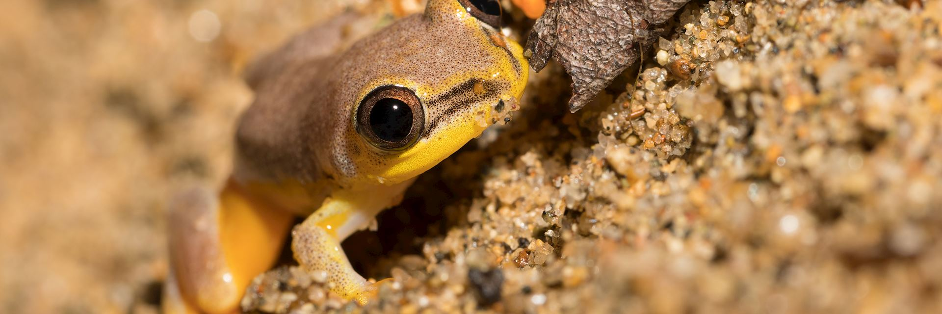 Yellow tree frog, Maroantsetra