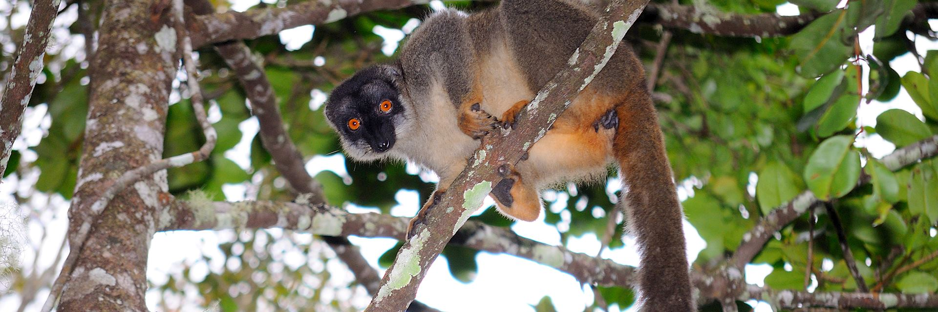 Brown lemur, Andasibe National Park
