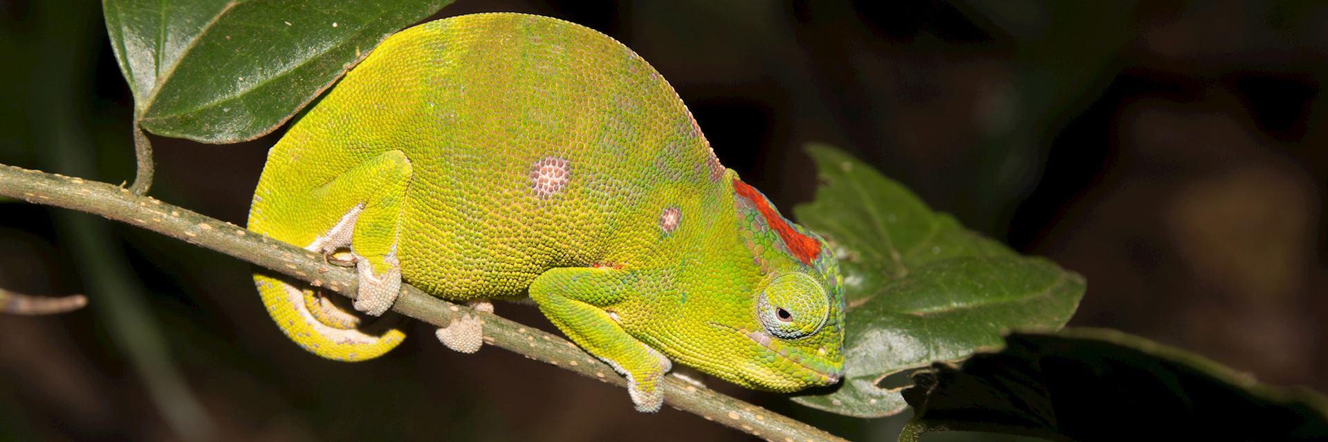 Carpet chameleon, Joffreville