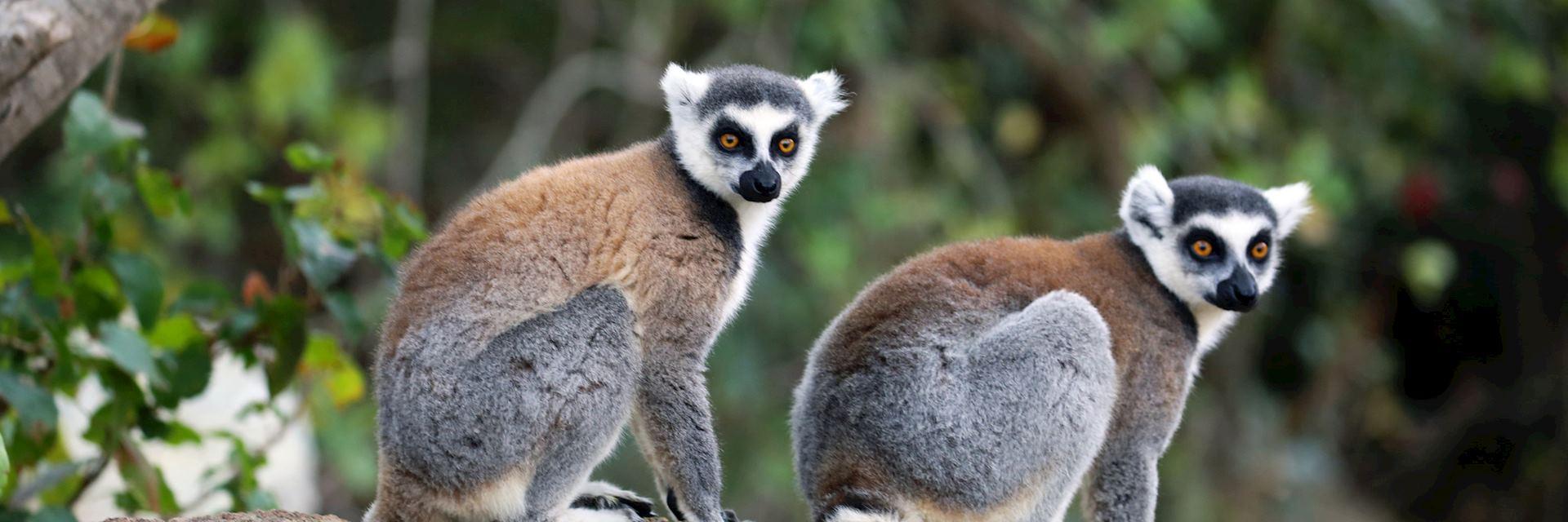 Ring-tailed lemur, Isalo National Park, Madagascar
