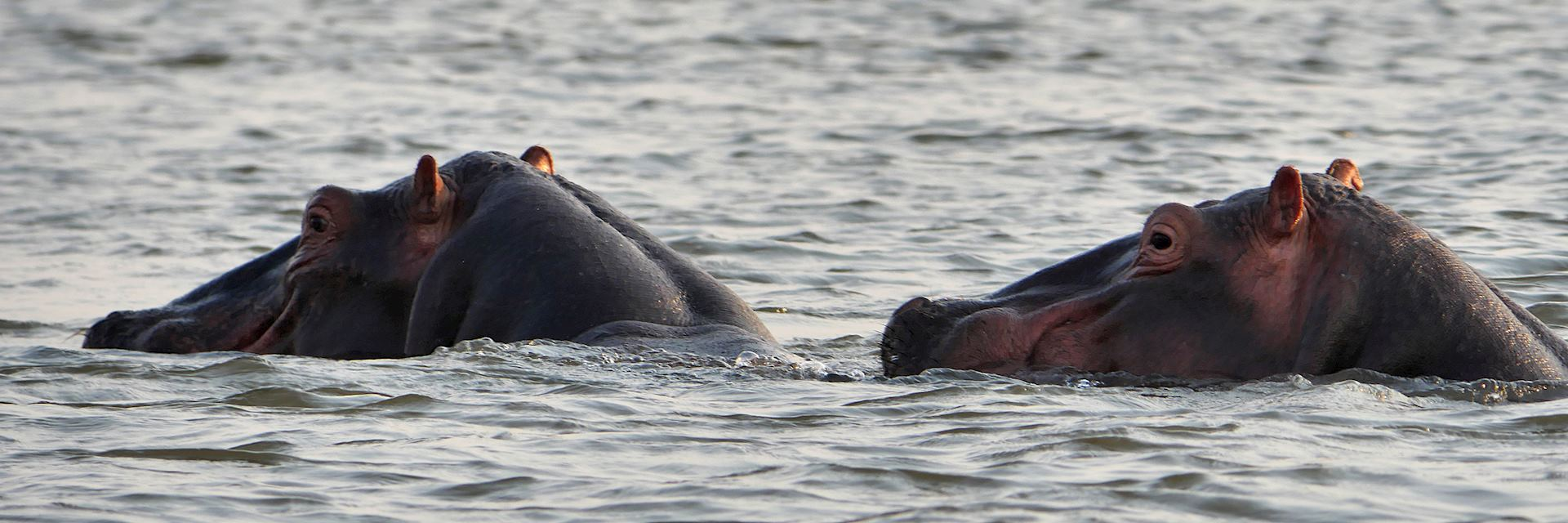 Hippos in Liwonde National Park, Malawi