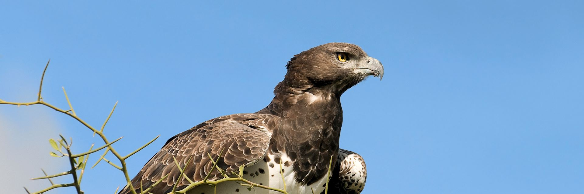 Martial eagle, Viphya Forest Mountains