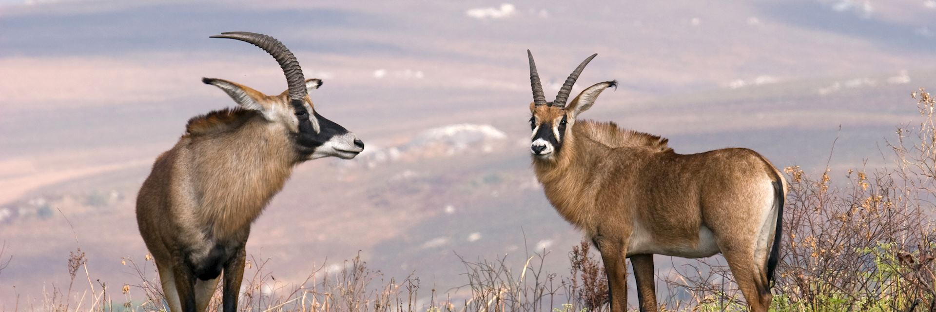 Roan antelope, Nyika Plateau in Malawi